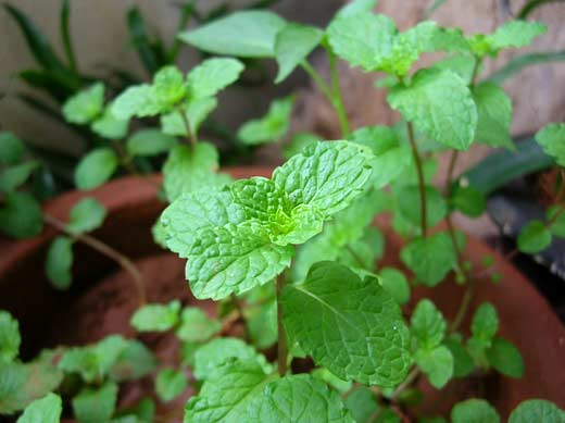 Much Happier Mint Leaves in my Balcony