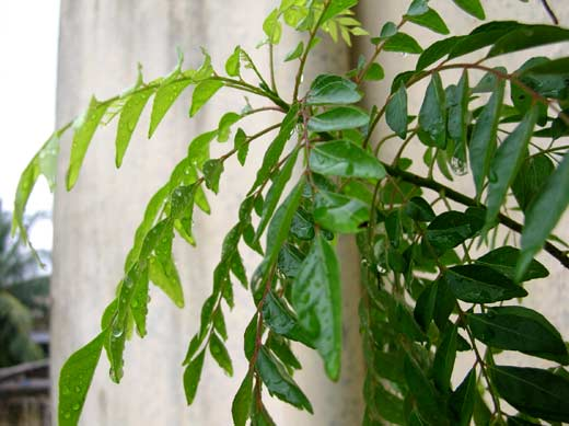 Happy Curry Leaves