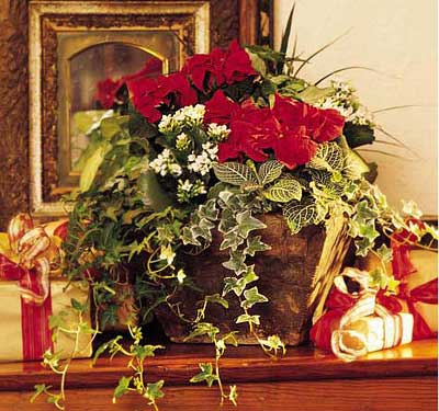 the charm of poinsettias in christmas and holiday season