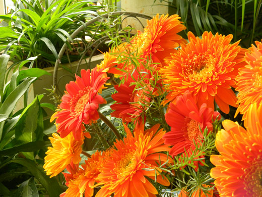 bouquet_of_bright_orange_gerberas_ishrath_humairah_flower_designs